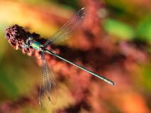 Green and cyan dragonfly from top view. On the colorful blurry background stock photography