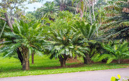 The green cycads Royalty Free Stock Photography