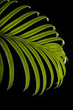 Green cycas leaf. On the black background Stock Image