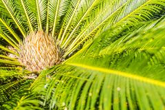 Green Cycas siamensis Miq, a species of Cycad endemic to Myanmar, Thailand, and Vietnam. Beautiful Cycas tree or Cycas palm in nat. Ural forest stock photos