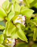 Green Cymbidium or orchid flower Royalty Free Stock Images