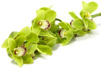 Green Cymbidium Orchid on white background royalty free stock image