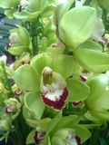 Green Cymbidium Orchids Royalty Free Stock Images