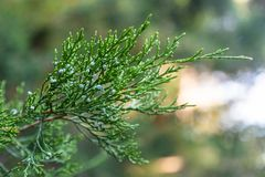 Green cypress branch with blooming white flowers in the botanical garden of Sochi. Russia royalty free stock photo