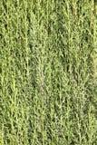 Green cypress branches Stock Photos