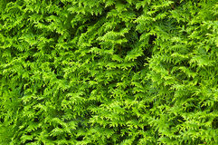 Green cypress hedge. Green cypress wall background texture stock image