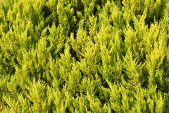 Green cypress Stock Photo