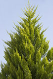 Green cypress Royalty Free Stock Images