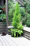 Green cypress planter on outdoor deck. Royalty Free Stock Photos