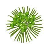Green Cypress Spurge or Euphorbia Cyparissias on White Background Royalty Free Stock Photos