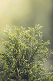 Green cypress sunlight. Evergreen cypress tree in the sun Stock Images
