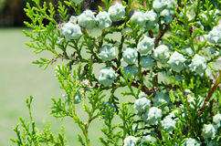 Green cypress tree Stock Photography
