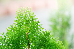 Green cypress tree Stock Photo