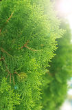 Green cypress tree, macro Royalty Free Stock Images