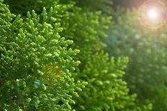 Green cypress tree, macro Royalty Free Stock Image