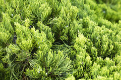 Green Cypress Stock Images