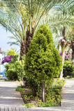 Green cypress tree in a tropical garden Stock Photo