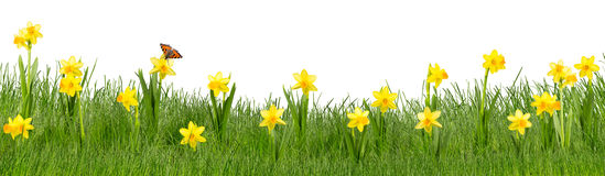 Green daffodil meadow Stock Images