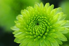 Green dahlia flower close up. Green dahlia flower in the garden Royalty Free Stock Photo