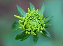 Green Daisy Stock Photos