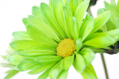 Green Daisy Flower Close-up. A green daisy flower close-up on a white background Royalty Free Stock Photo