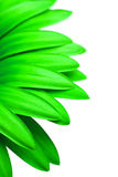 Green daisy isolated on white. Green daisy petals isolated on white - macro with focus on petal just under center Stock Photos