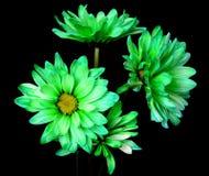 Green Daisy Macro Royalty Free Stock Photo
