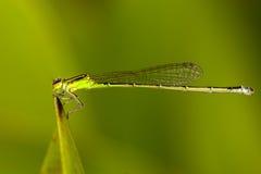 Green Damselflies Royalty Free Stock Photo