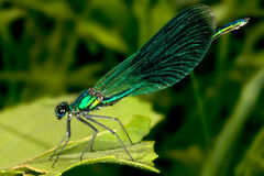 Free Green Damselfly Stock Images - 13193294