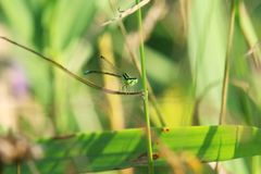 Green damselfly Royalty Free Stock Photography