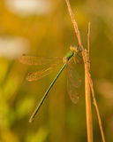 Green damselfly on corn Stock Photo