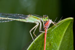 A green damselfly eating a red damselfly Stock Photo