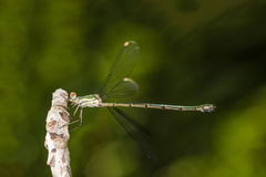 Green damselfly Royalty Free Stock Photo