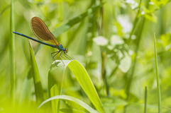 Green damselfly heating on green herbs Stock Images