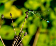 GREEN DAMSELFLY WITH ITS TAIL LOWERED Stock Photography