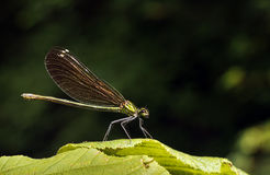 Green damselfly at rest - habitat, zygoptera Stock Image