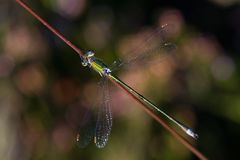 Green damselfly on a stalk of grass Stock Images