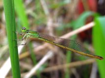 Green Damselfly Stock Image