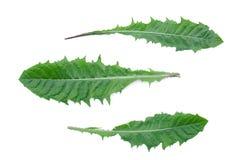 Green dandelion leaves. royalty free stock image