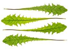 Green dandelion leaves Royalty Free Stock Photo