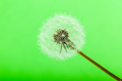 Green Dandelion Royalty Free Stock Images