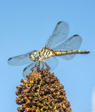 Green darner. Or common ,Anax junius, is a species of dragonfly in the family Aeshnidae stock photo