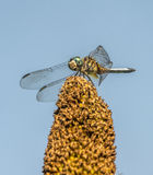 Green darner. Or common ,Anax junius, is a species of dragonfly in the family Aeshnidae royalty free stock photo