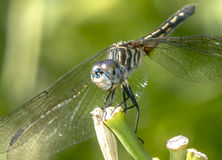 Green darner. Or common ,Anax junius, is a species of dragonfly in the family Aeshnidae stock photos