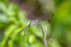 Green Darner or Common Green Darner Anax junius. Green Darner or Common Green Darner ,Anax junius, after its resemblance to a darning-needle, is a species of royalty free stock images
