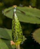 Green Darner or Common Green Darner (Anax junius) Stock Images