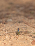 Green darner or common green darner dragonfly, Anax junius Royalty Free Stock Image