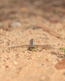 Green darner or common green darner dragonfly, Anax junius Stock Photos
