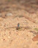 Green darner or common green darner dragonfly, Anax junius Stock Photos