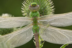 Free Green Darner Dragonfly Royalty Free Stock Photography - 9640437